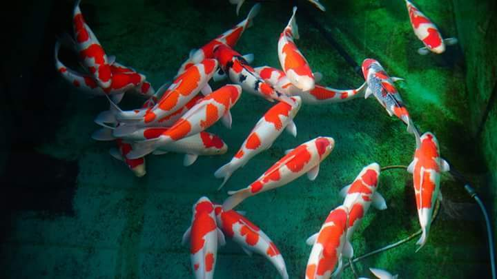 High Quality Japanese Koi's