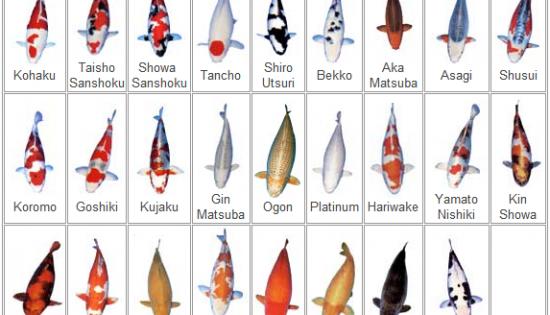 Types of Koi Varieties