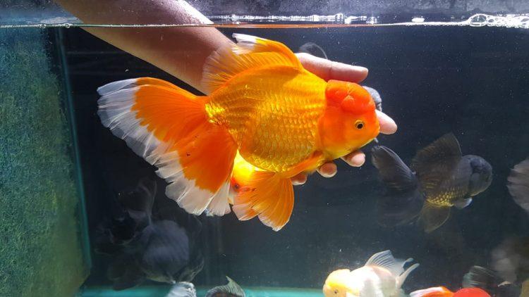 Imported Goldfish – Oranda,Ryukin,Redcap,Ranchu, Calico